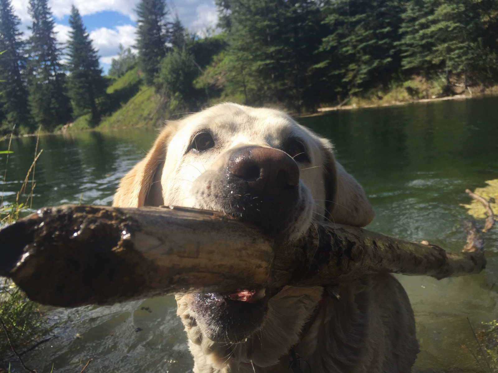 Baylor the Dog plays fetch - British Columbia