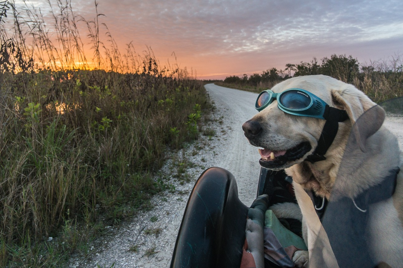 Baylor the Motorcycle Sidecar Dog | Operation Moto Dog